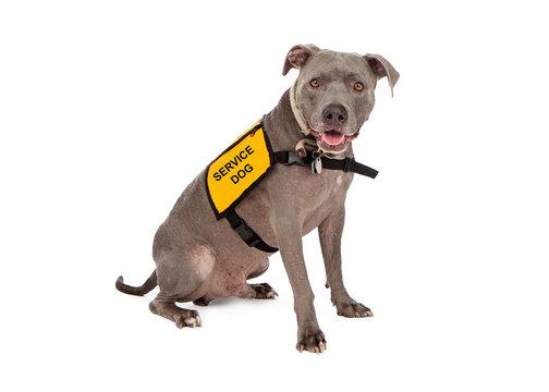 Pit Bull Wearing Service Dog Vest