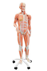 Human anatomy. Medical mannequin isolated