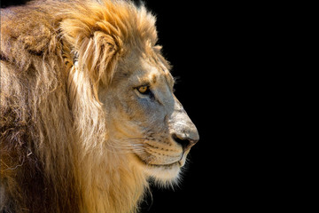 Lion head profile isolated on black.  Copy space to the right.