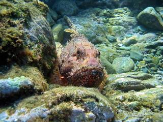 Red scorpionfish Scorpaena scrofa underwater