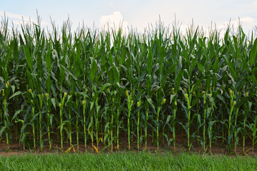 Field of Delicious Healthy Corn