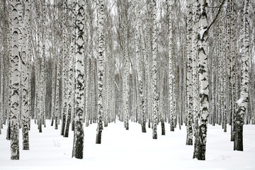 Foto auf Gartenposter Bestsellers Winter birch forest