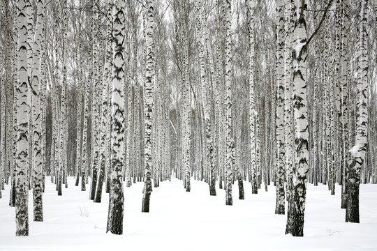 Winter birch forest