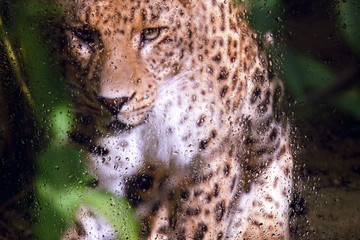 look at the leopard through the glass with raindrops