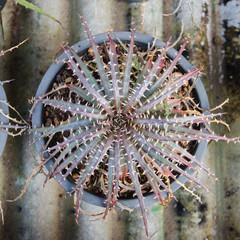 Plant Bromeliad Latin name Aechmea fasciata