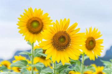 Sunflowers in the garden,Thailand.