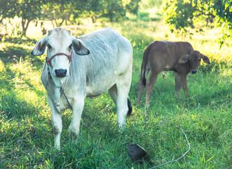 cow inrhe farm of thailand ,vintage color tone