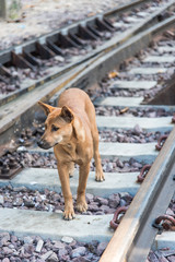 Thai dog travel alone along the railway
