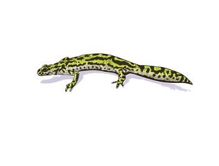 Green newt