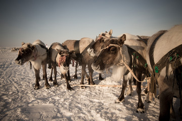 Team of reindeer in frosty winter morning. Yamal. Toned