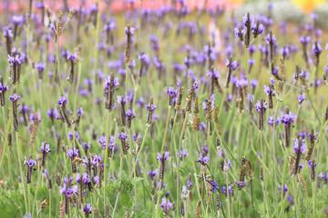 Fern Leaf Lavender,Jagged Lavender