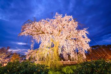 Weeping Chery Tree in Maruyama Park in Kyoto, Japan