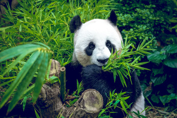 Hungry giant panda