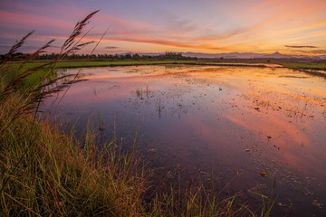reflections old field rice in twilight time background ,Thailand