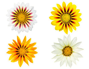 Set of gazania flowers isolated on white background