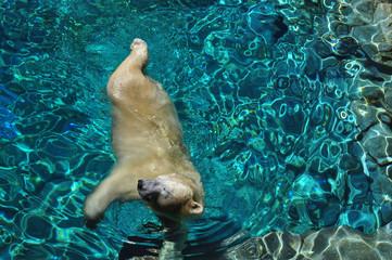 Wild Polar bear swimming in blue water