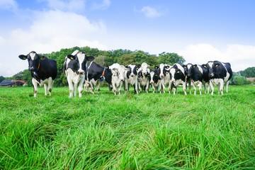Fototapete - Milcherzeugung, Schwarzbunte MIlchviehherde auf der Weide