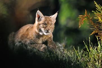Wall Mural - Eurasian lynx in forest