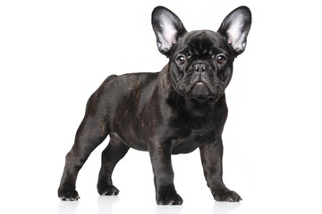 Photo sur Plexiglas Bouledogue français French bulldog puppy on a white background