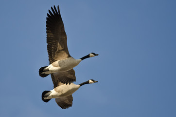 Synchronized Flying Demonstration by a Pair of Canada Geese