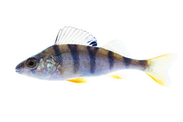 European perch on the white