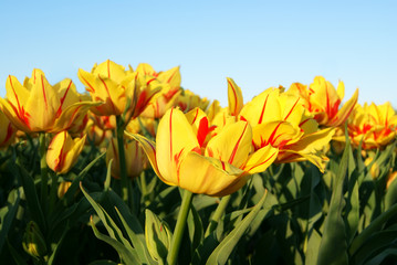 Yellow and Red Tulips on the Sky
