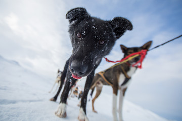 Cute husky dog with snow on face