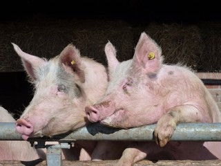 Young chattering pigs on the gate of their stable