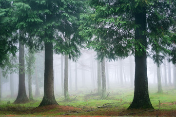 Fotobehang Bossen cypress forest with fog