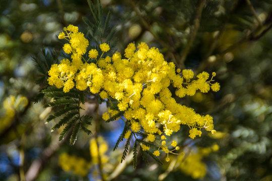boutons de la fleur du mimosa