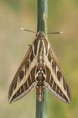 Striped Sphinx (Hyles livornica)
