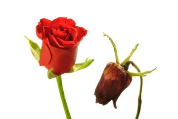 Vergänglich - Als Gegensatz blühende und verblühte rote Rose