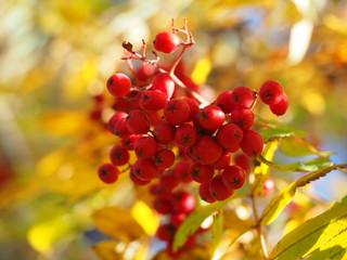 Wall Murals Vineyard rowan autumn