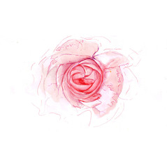 Watercolor illustration rose flower