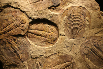 Wall Murals Textures fossil trilobite imprint in the sediment.