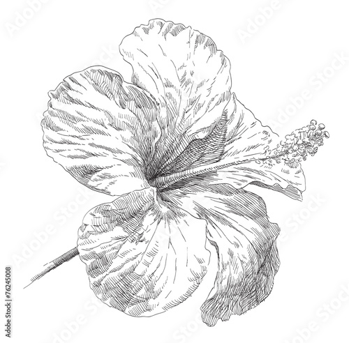 Hand Draw Hibiscus Flower Blossom Stock Image And Royalty Free