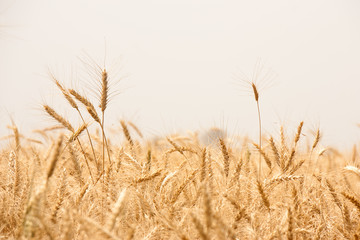 Golden wheat field in india