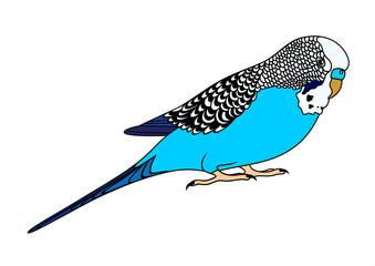 Vector illustration of blue budgie
