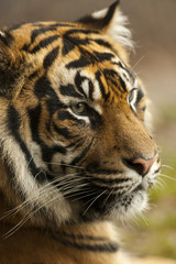Wall Murals Tiger Portret Sumatraanse tijger