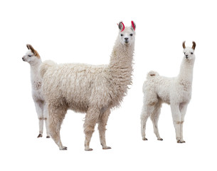Photo sur Plexiglas Lama Female llama with babies