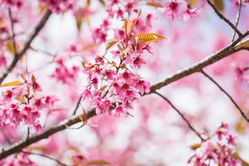 Thailand pink Sakura flower in ChiangMai, Thailand