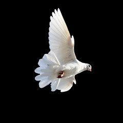 white dove on a black background