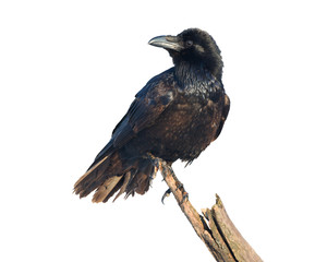 Common Raven on white