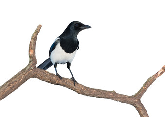 Eurasian magpie on white
