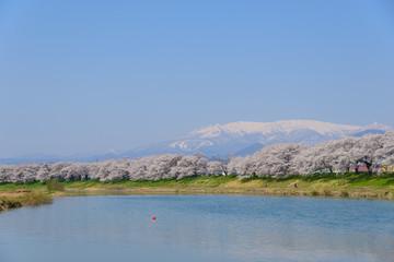 Cherry blossoms along Shiroishi river (Shiroishigawa tsutsumi Se