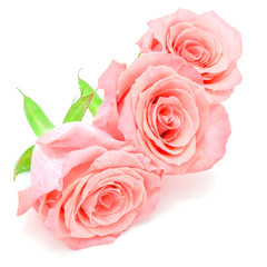 Wall Mural - pale pink rose