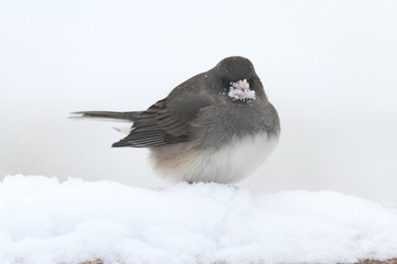 Fotoväggar - Junco In a Snow Storm