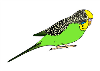Vector illustration of green budgie