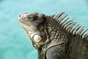 Iguana with ocean background.