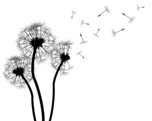 Dandelion silhouette on white